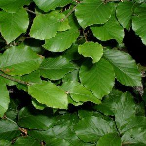 groene beuk fagus sylvatica