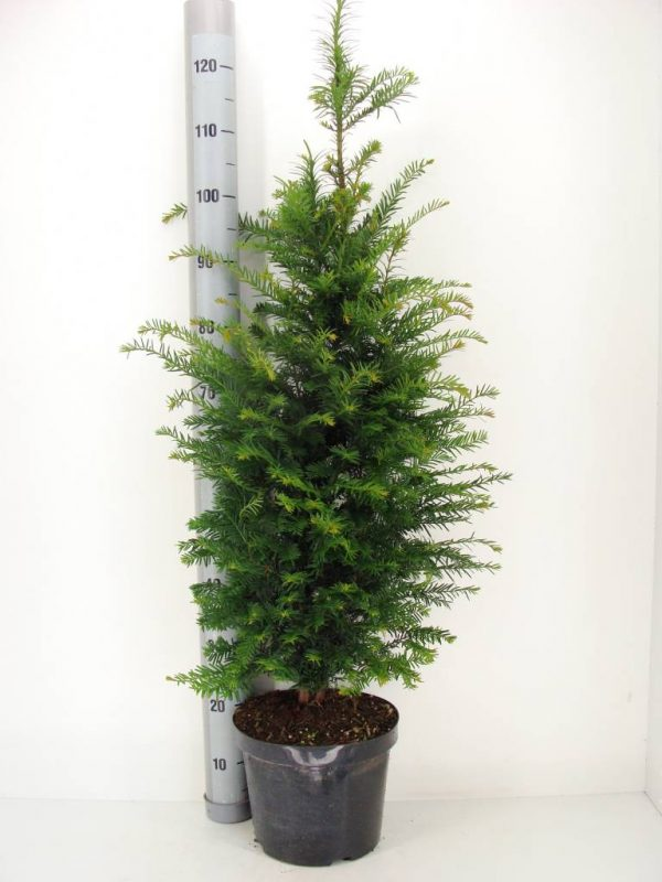 taxus-baccata-in-pot-100-125cm-1