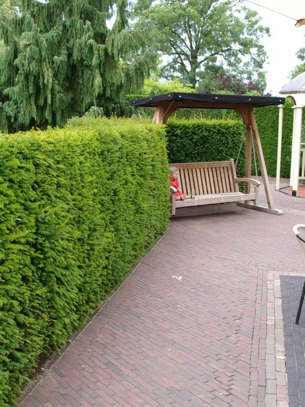 taxus-baccata-in-pot-40-50cm-2