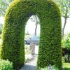 taxus-baccata-in-pot-40-50cm-3