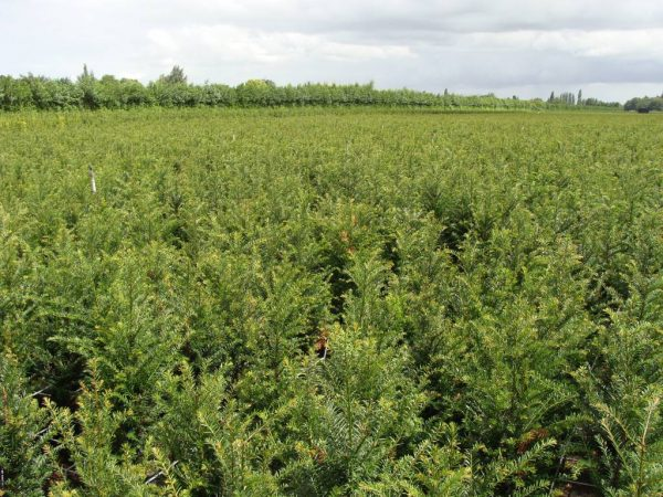 taxus-baccata-in-pot-60-80cm-2
