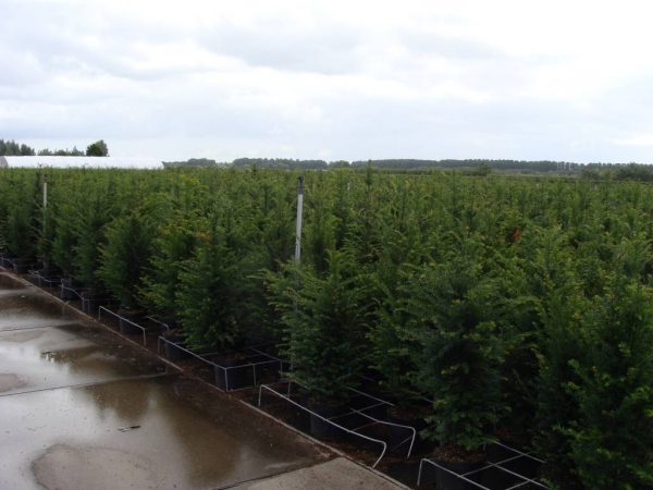 taxus-baccata-in-pot-80-100cm-1