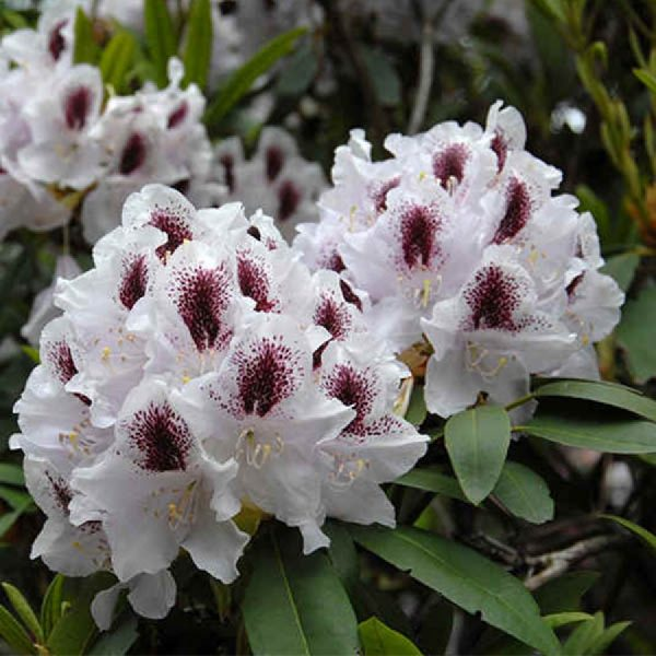 rhododendron_calsap