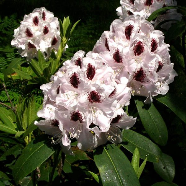 rhododendron_calsap_2