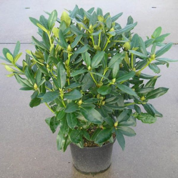 rhododendron_calsap_3