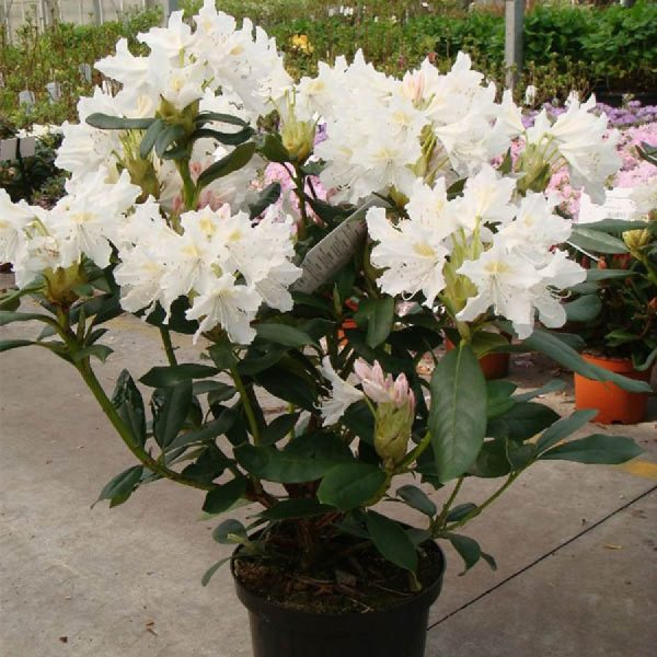 rhododendron_cunningham_white_2