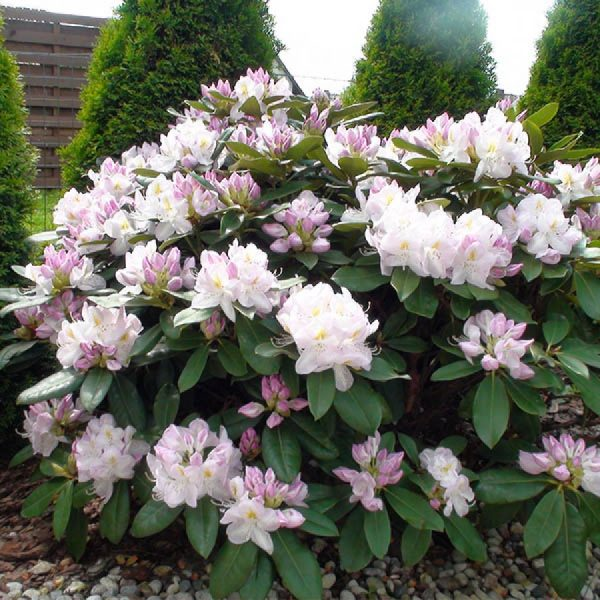rhododendron_gomer_waterer_2