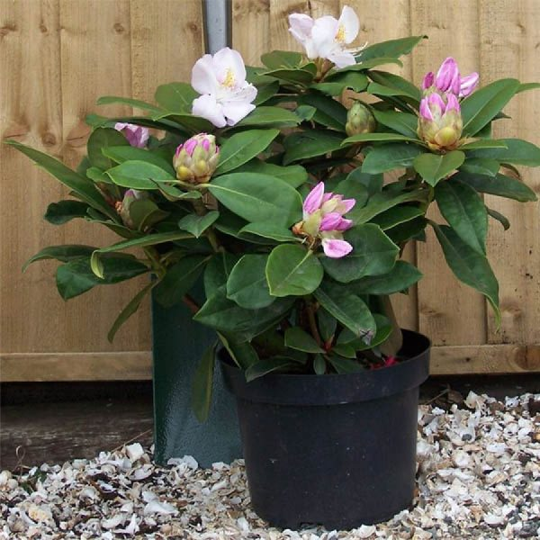 rhododendron_gomer_waterer_3